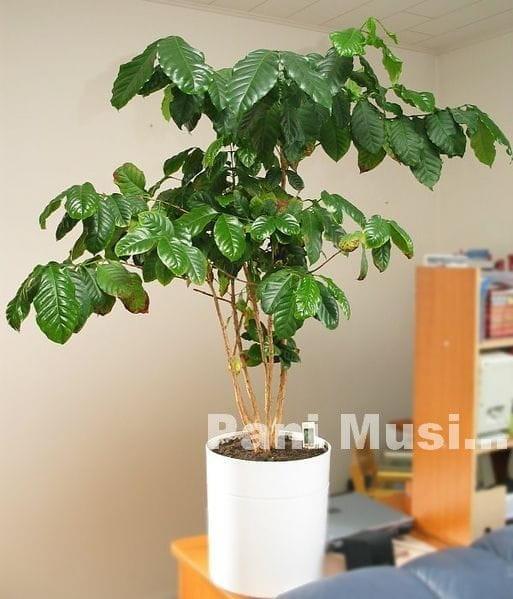 Кофейное деревце в домашних условиях